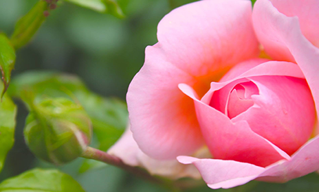 ビンクの薔薇